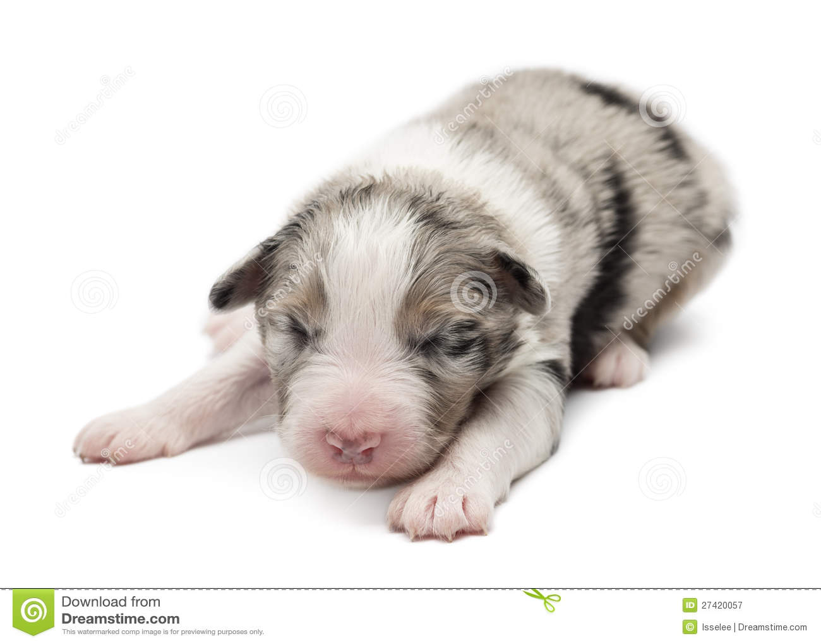 Royalty Free Stock Photography: Australian Shepherd puppy, 7 days old ...