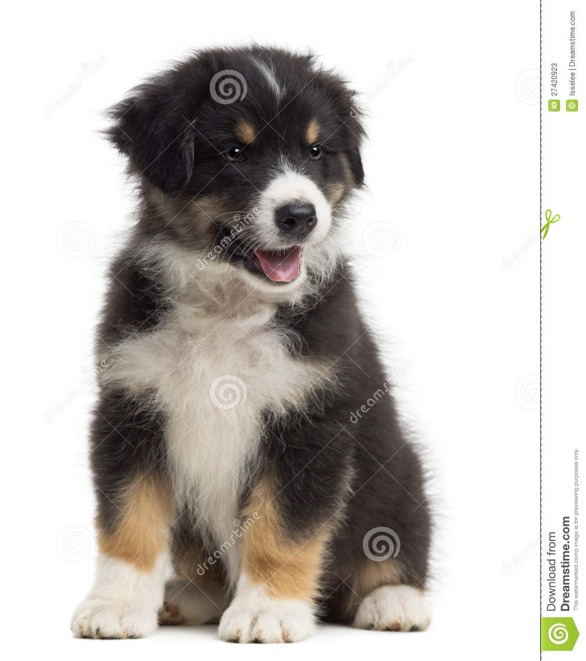 Of Puppy Australian Shepherd Stock Image To Download At Photo | Dog ...