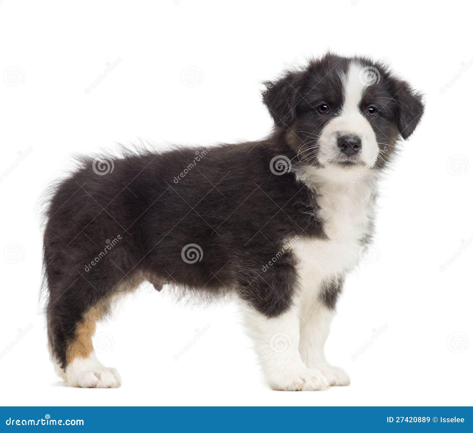Royalty Free Stock Images: Australian Shepherd puppy, 8 weeks old ...