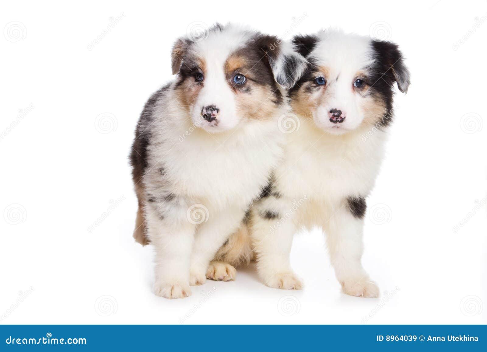 Australian Shepherd Puppy Royalty Free Stock Images - Image: 8964039