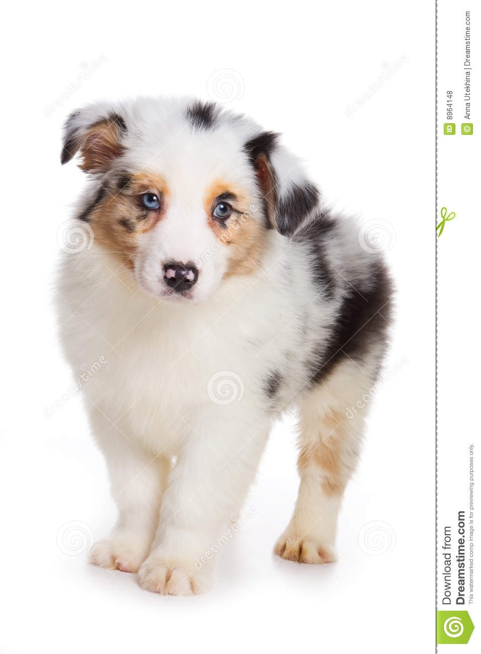 Picture Of Puppy Australian Shepherd Stock Image To Download At | Dog ...