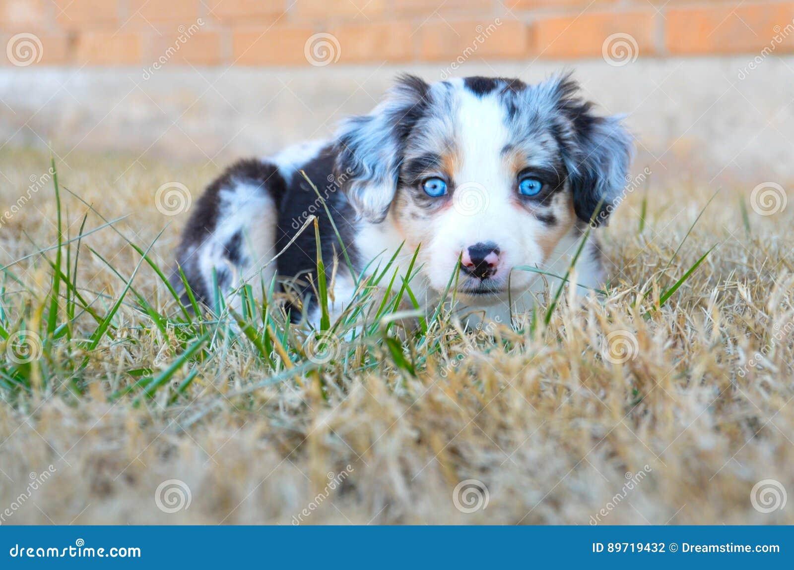 Australian Shepherd Puppy Blue Merle Stock Photo Image Of Coat Pink 89719432