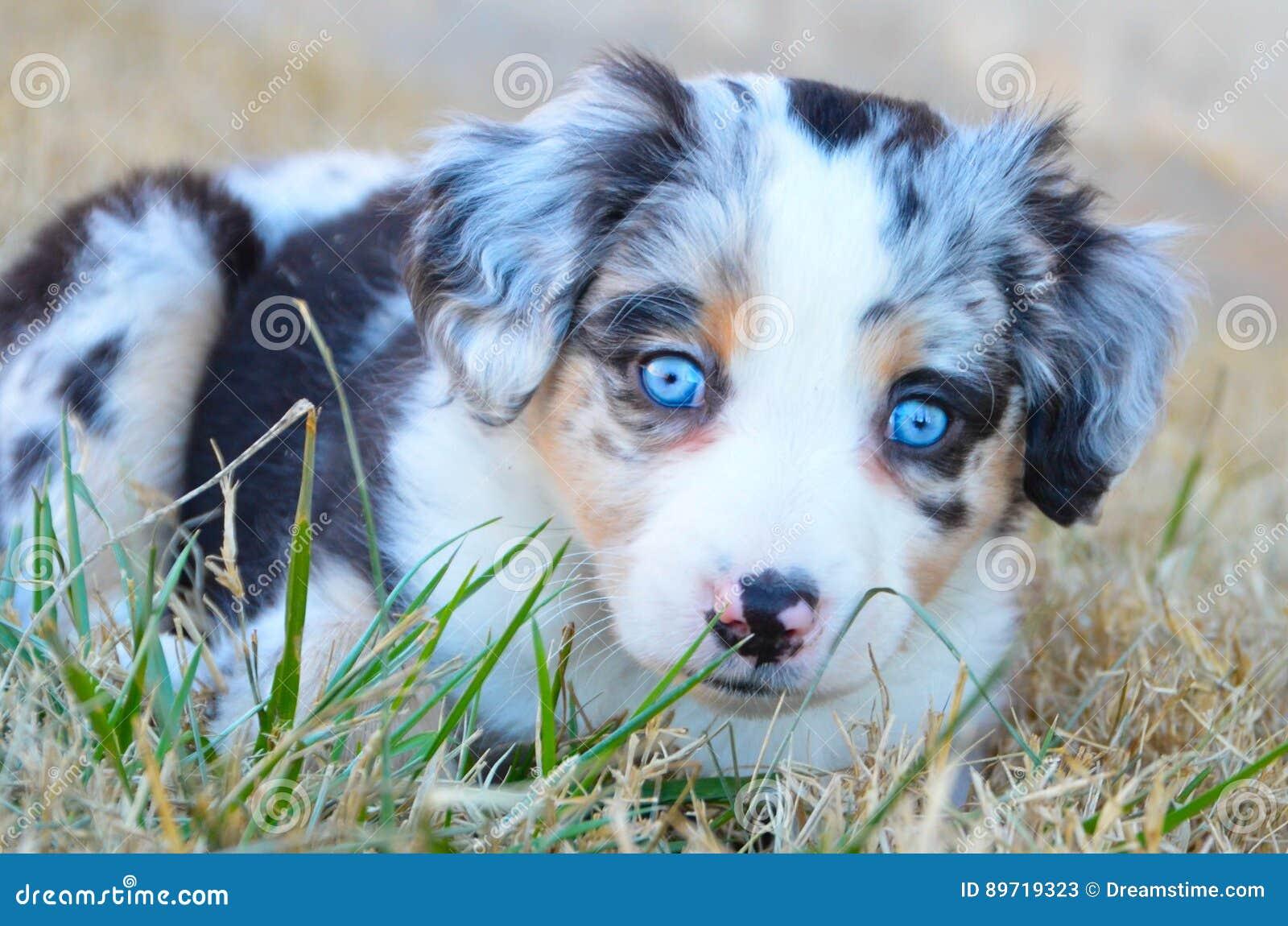 Australian Shepherd Puppy Blue Merle Stock Image Image
