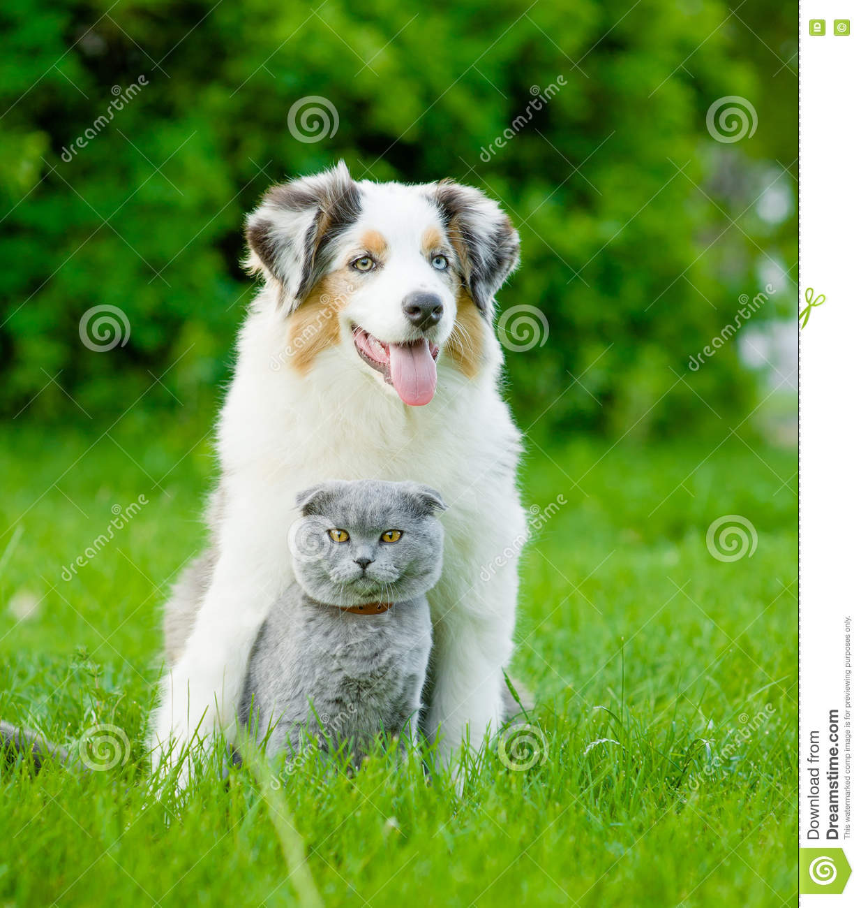 Download Australian Shepherd Puppy And Cat Sitting Together On The Green Stock Image - Image of camera, green: 73828719