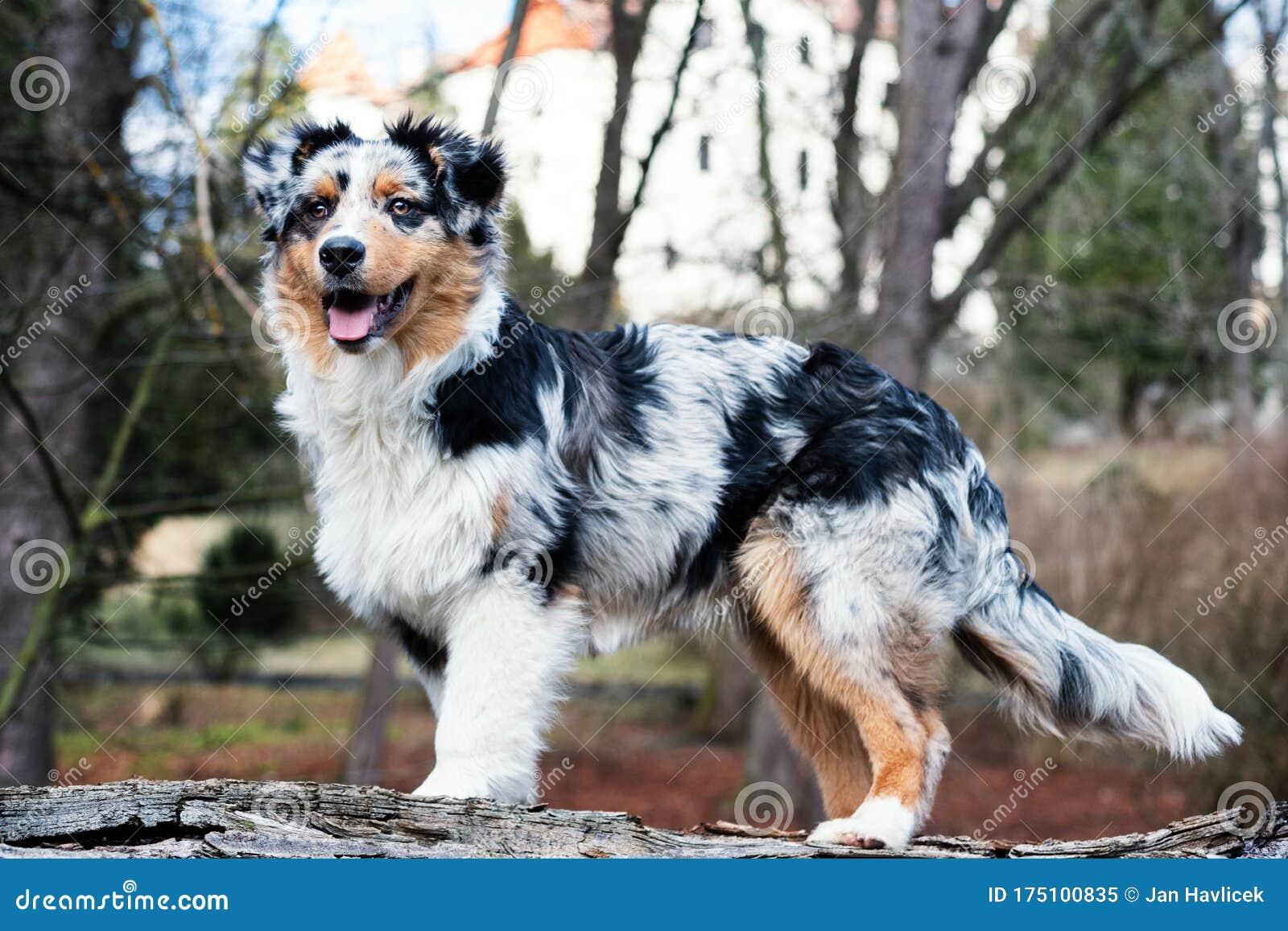 Australian Shepherd Puppy Stock Image Image Of Green 175100835