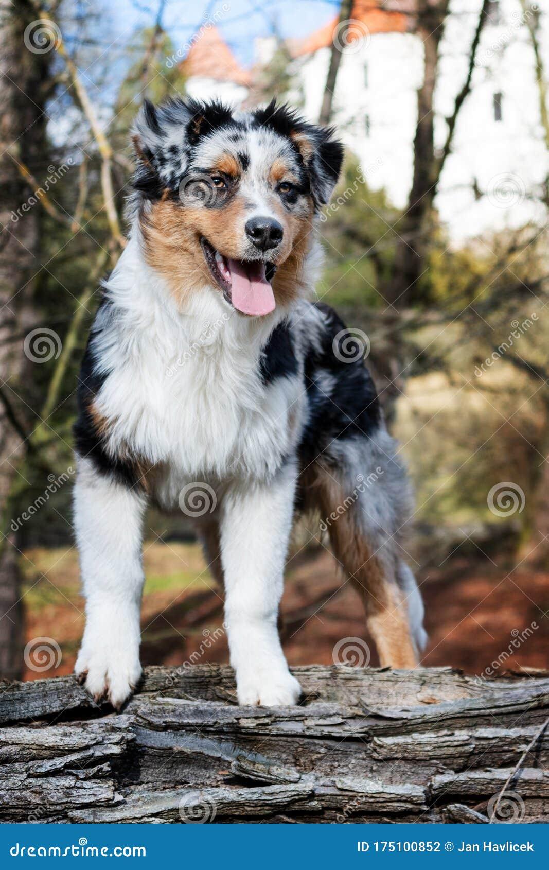 Australian Shepherd Puppy Stock Photo Image Of Adorable 175100852