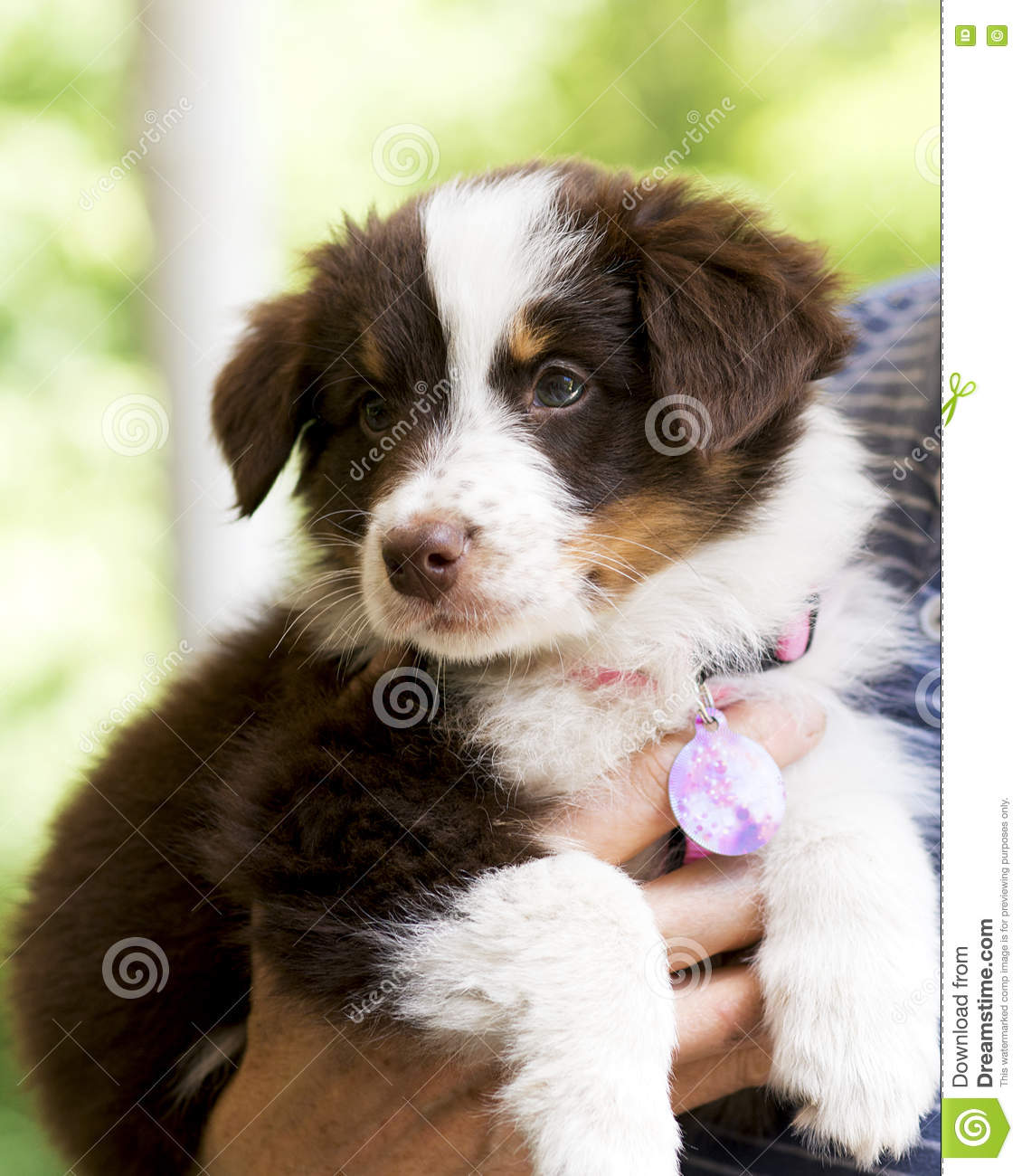 Australian Shepherd Puppy Stock Photo Image Of Blue 73657212