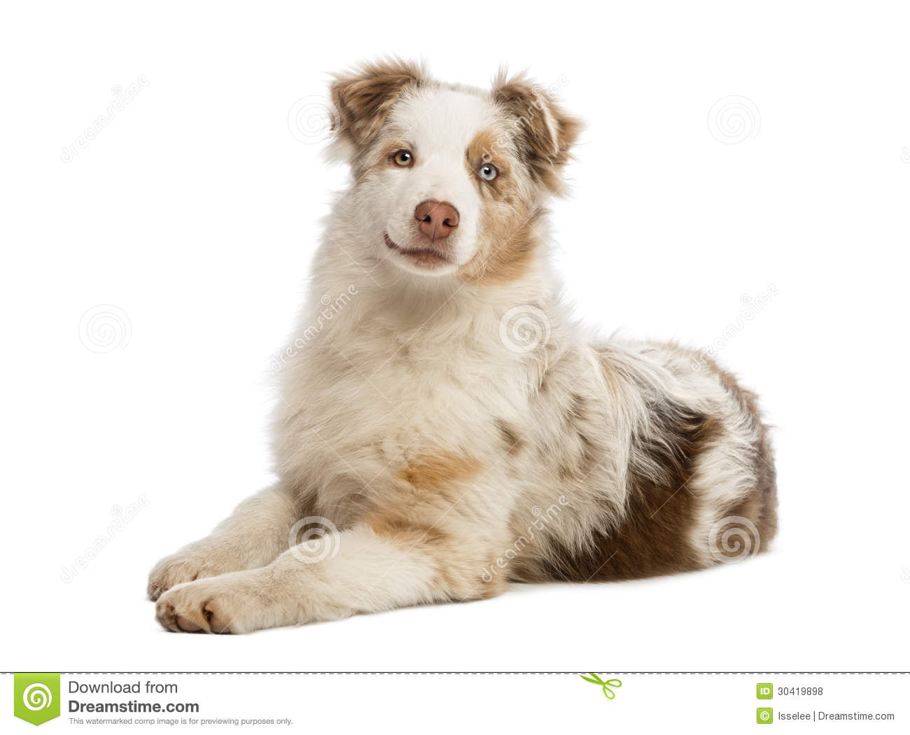 Royalty Free Stock Photos: Australian Shepherd puppy lying