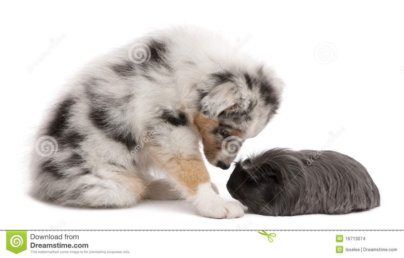 Australian Shepherd Puppy Playing With Guinea Pig Stock Images - Image ...