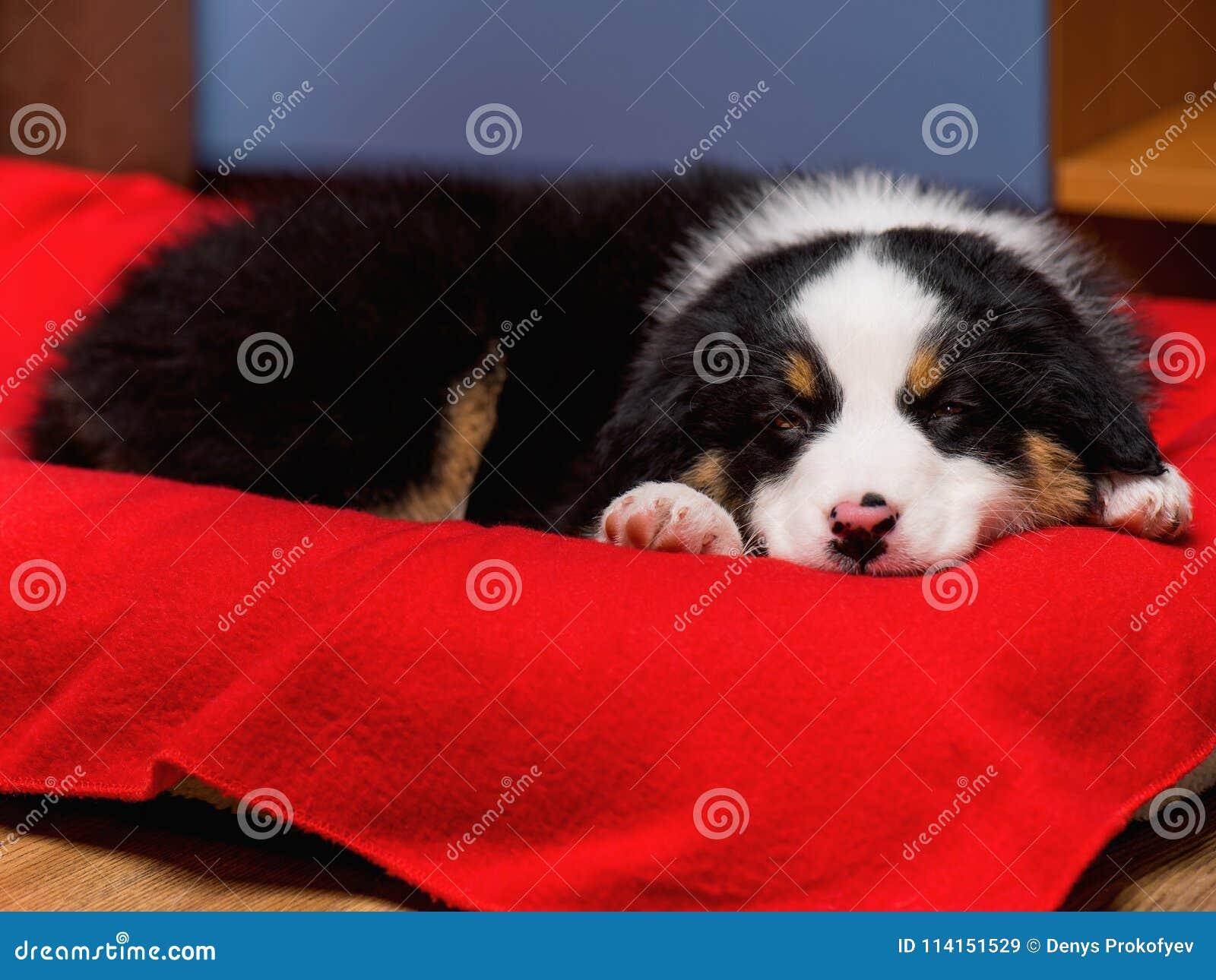 Australian Shepherd Puppy Stock Image Image Of Black 114151529
