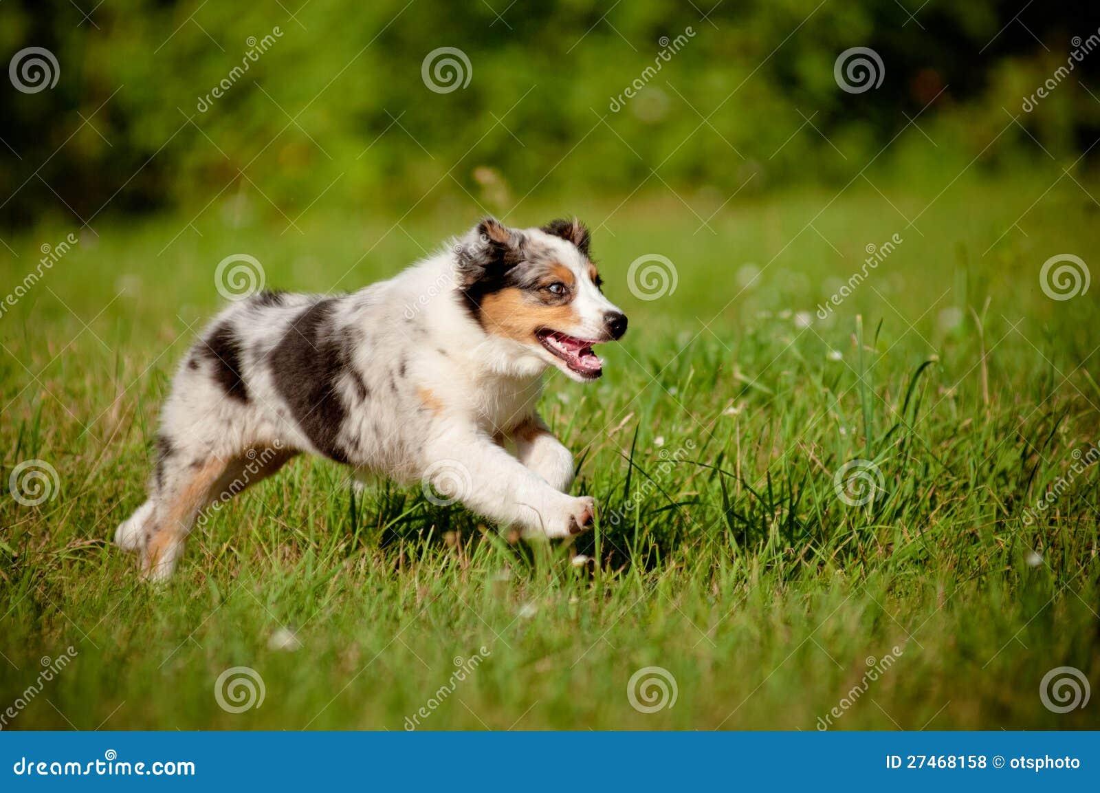 Australian Shepherd Puppy Running Royalty Free Stock Photos - Image ...