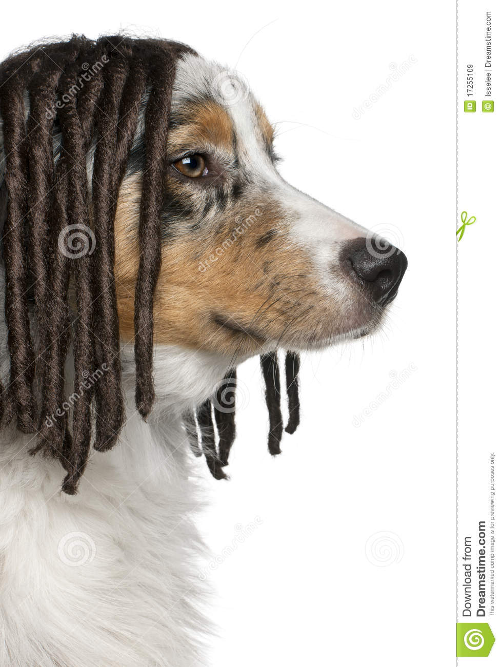Royalty Free Stock Images: Australian Shepherd puppy wearing a ...