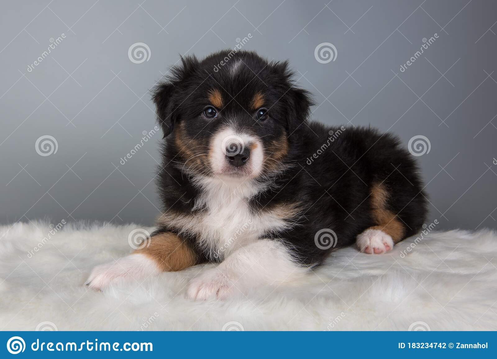 Australian Shepherd Tri Color Black Tan Puppy Dog Stock Photo Image Of Brown Natural 183234742