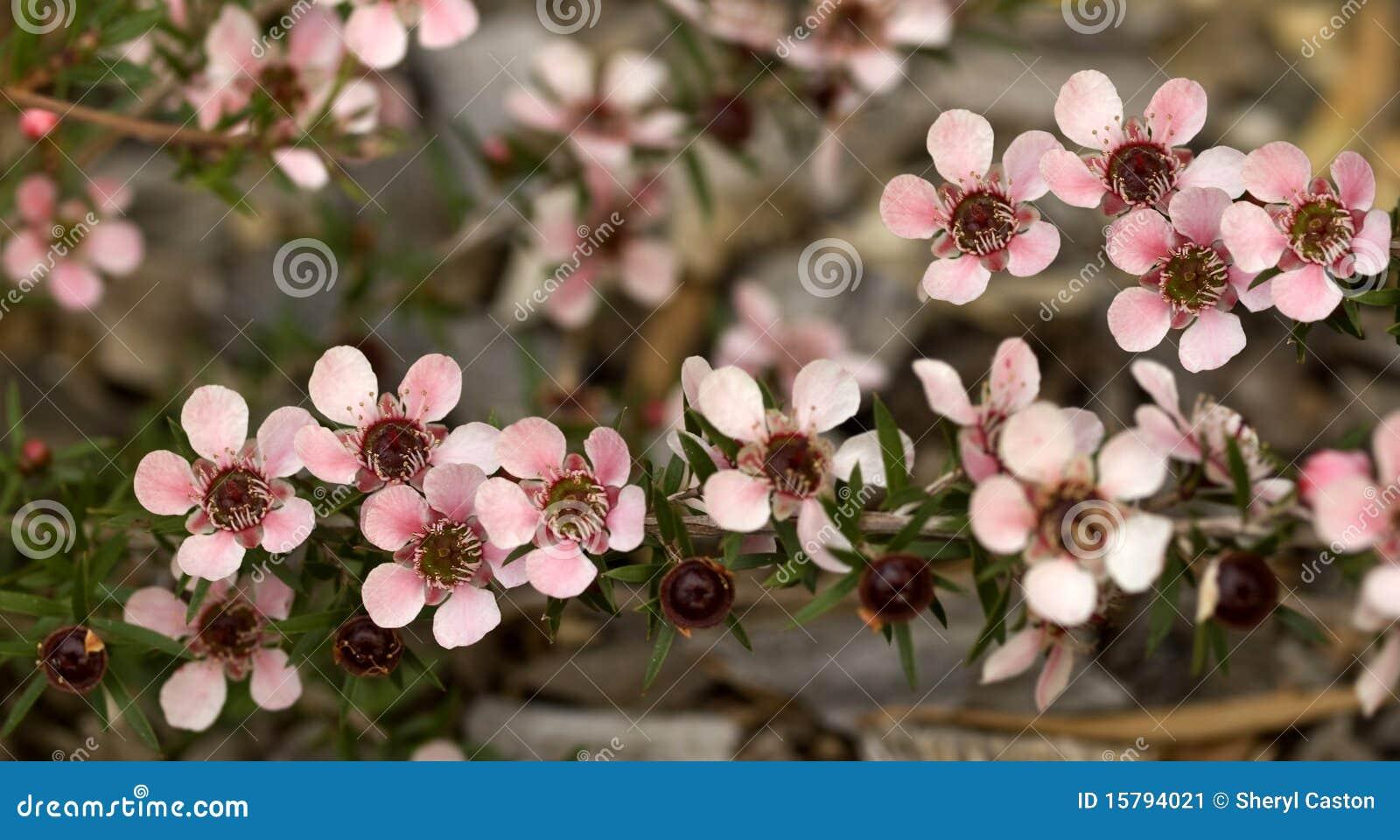Australian Spring Flowers Leptospernum Tea Tree Stock Image Image