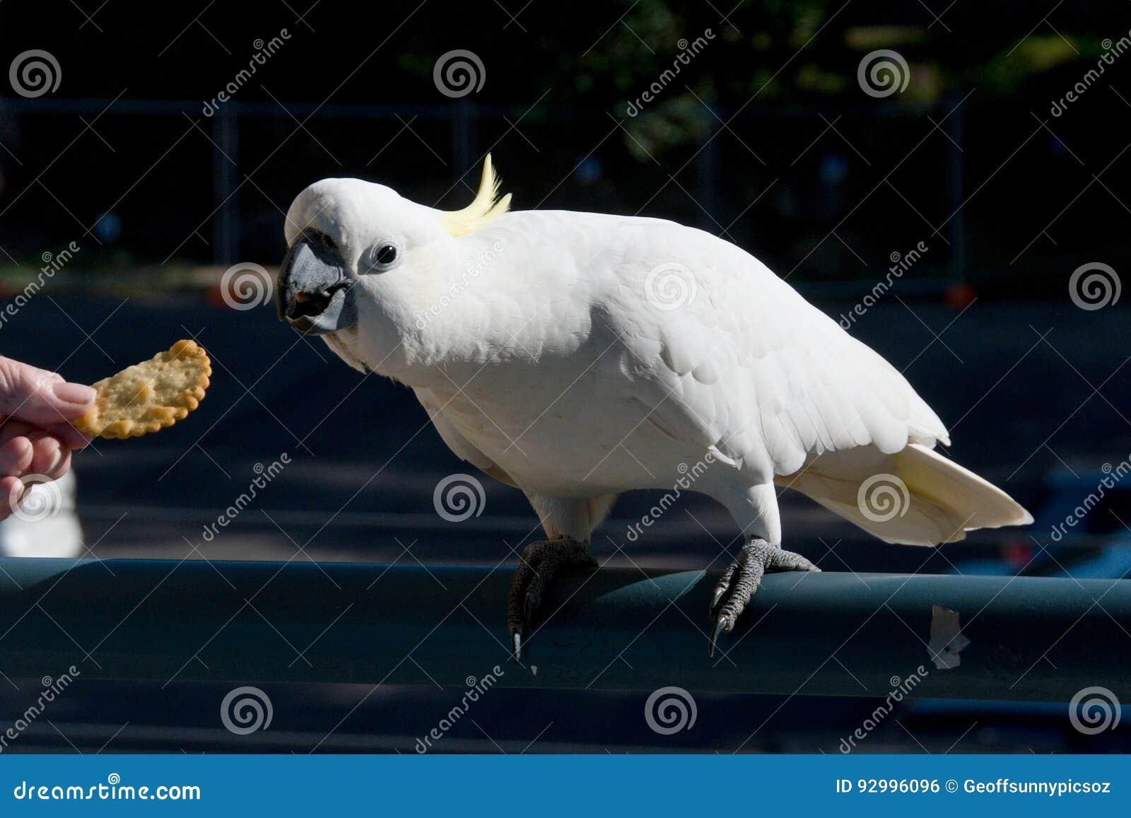 Australian Sulphur-crested Cockatoo being fed a cracker. Cacatu