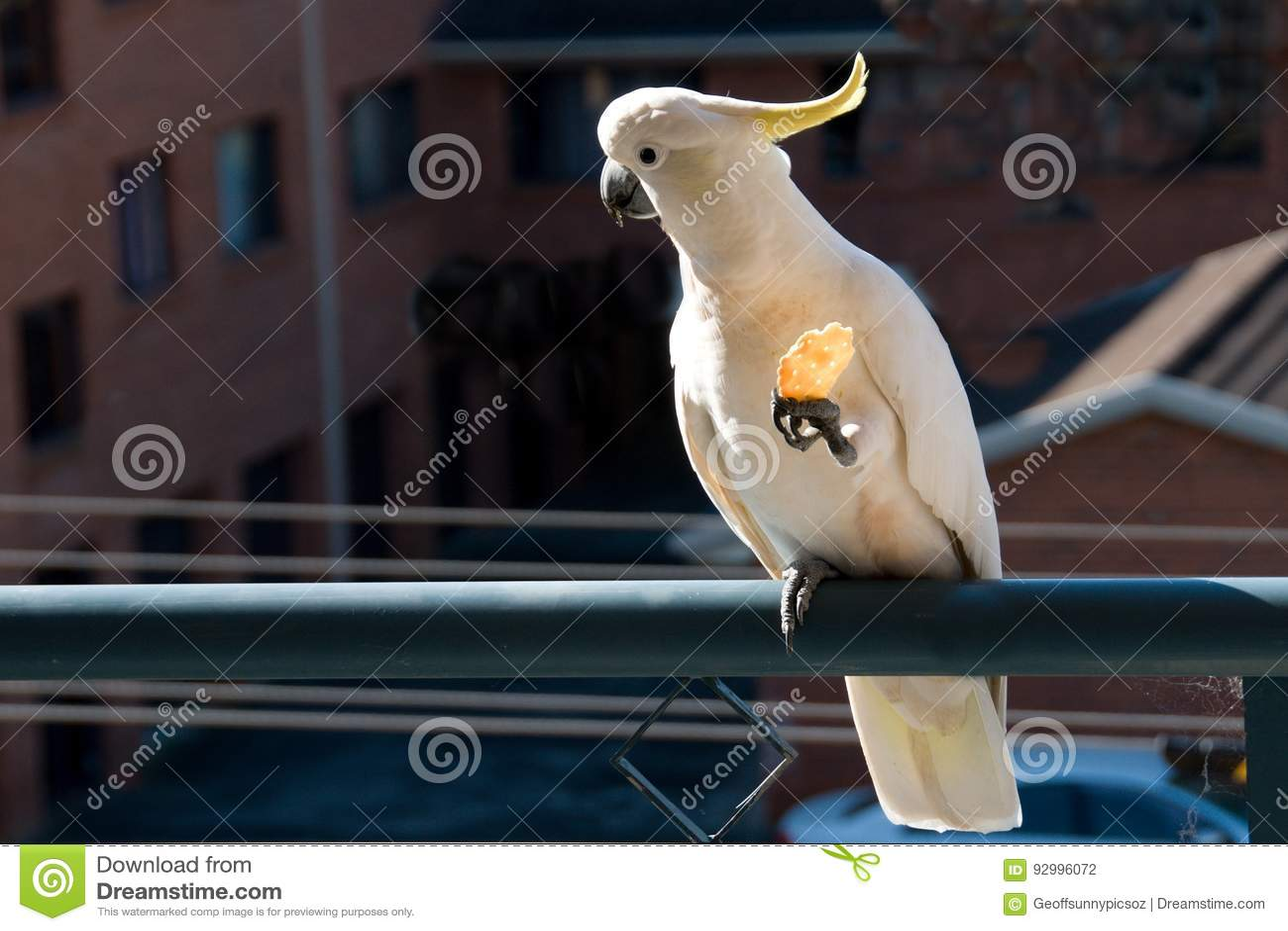 Australian Sulphur-crested Cockatoo eating a cracker. Cacatua ga