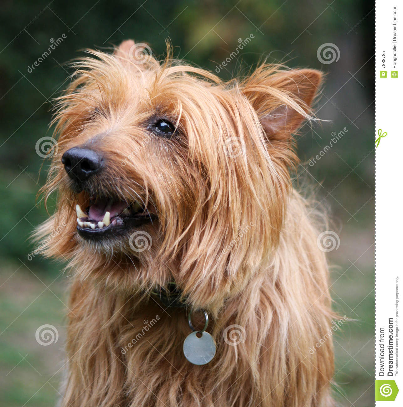 Australian Terrier Royalty Free Stock Photo - Image: 7888785