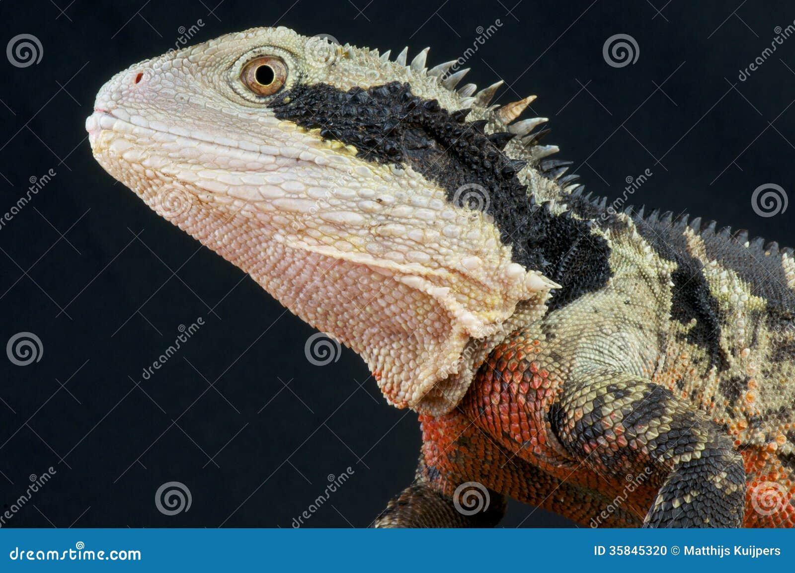 Australian Water Dragon Lizard: Australian Water Dragon / Physignathus Lesueurii Stock