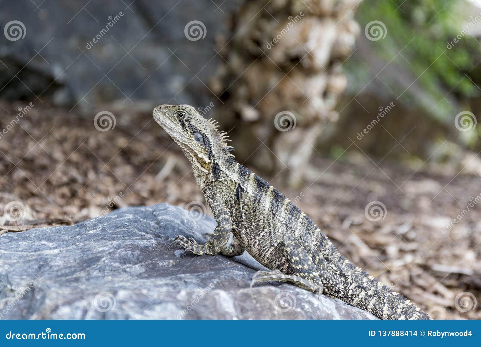 Australian water dragon sits on a rock, basking in the sun