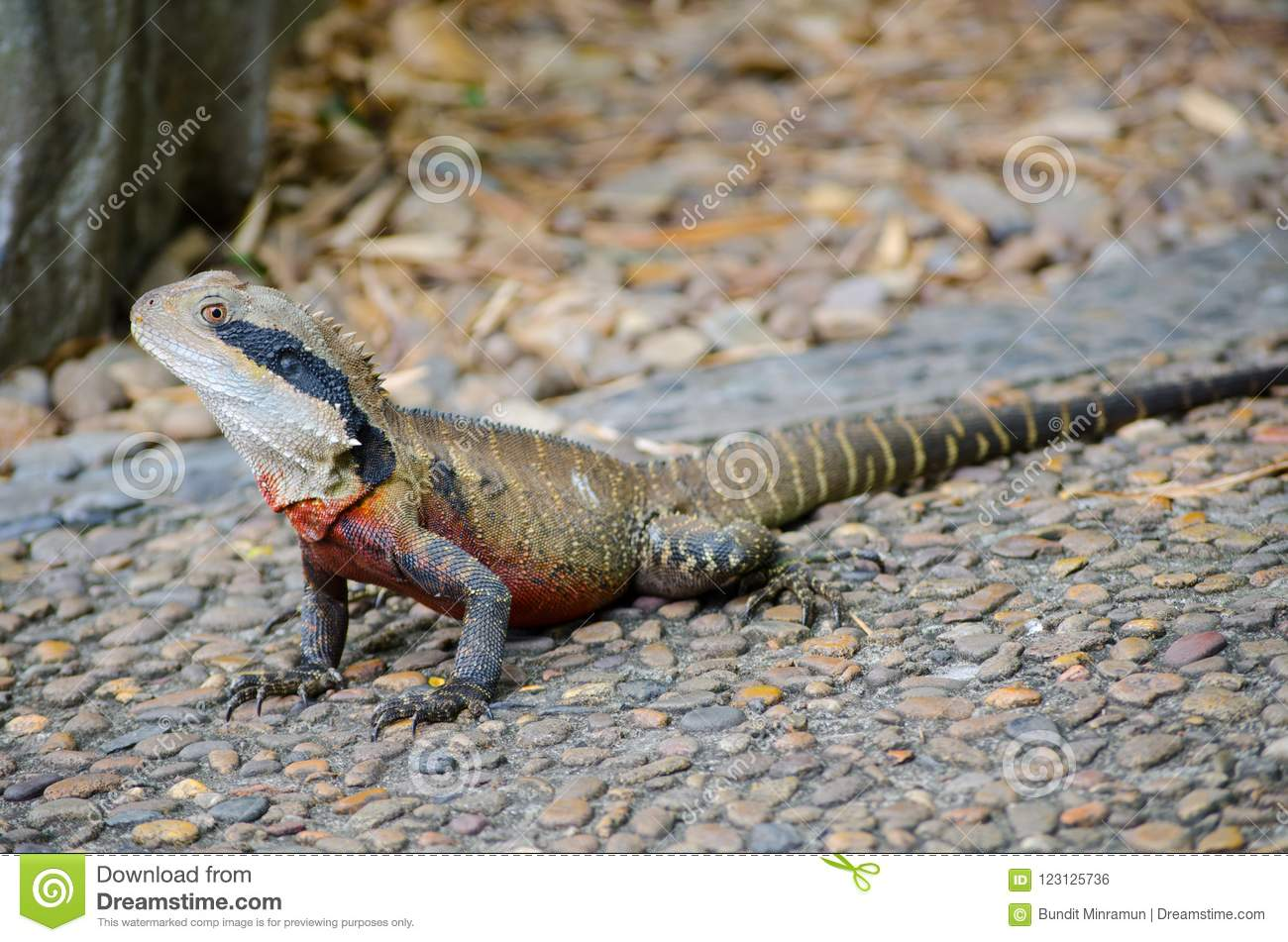 Australian Water Dragon: Australian Water Dragon Standing On The Ground In Close Up