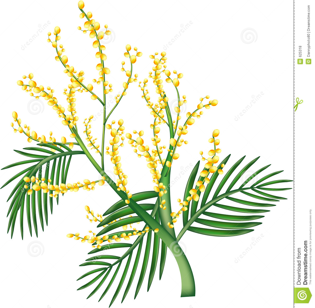 Australian Wattle Stock Illustrations – 17 Australian Wattle Stock ...