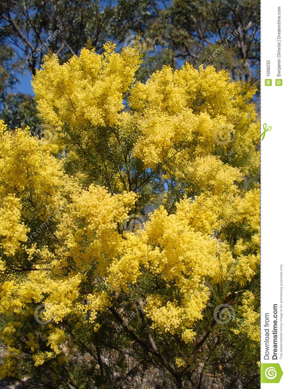 Australian wattle in spring with yellow flowering bloom stock photo australian wattle in spring with yellow flowering bloom mightylinksfo