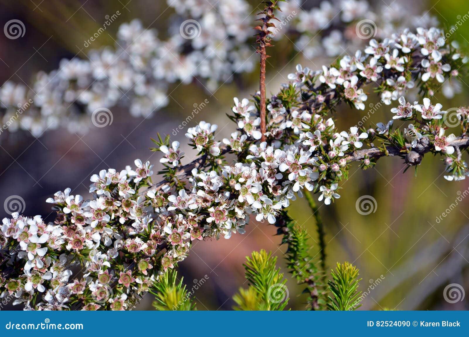 Australian White Tea Tree Flowers Leptospermum Stock Photo Image