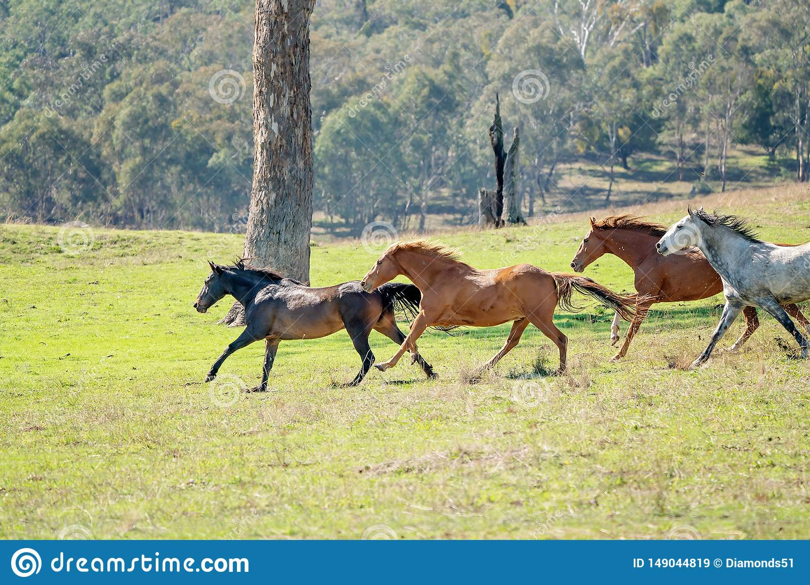 Wild Horses Running Across The Landscape Stock Image Image Of Follow Catch 149044819
