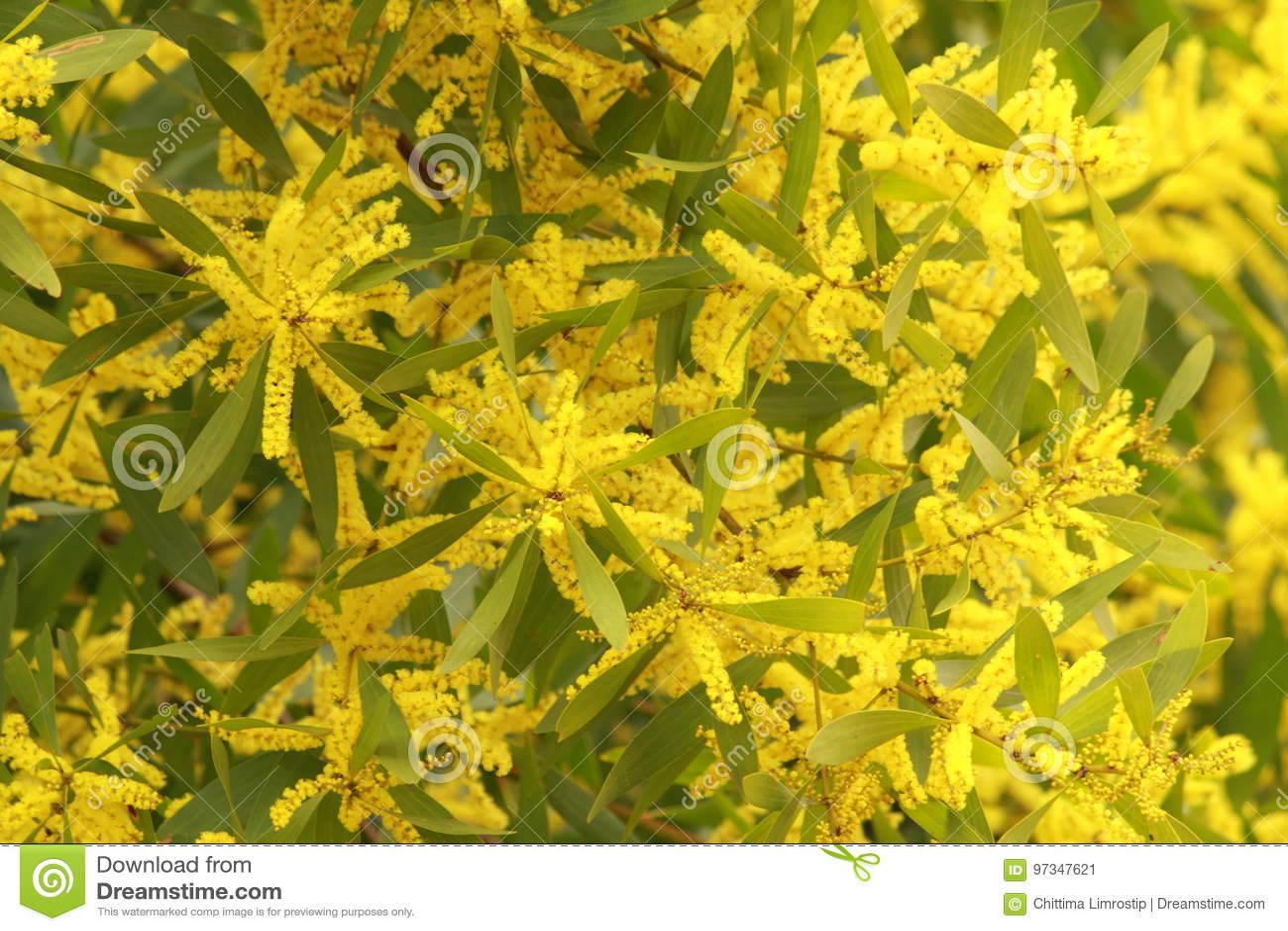 Australian yellow flowers stock image image of aroma 97347621 australian yellow flowers mightylinksfo