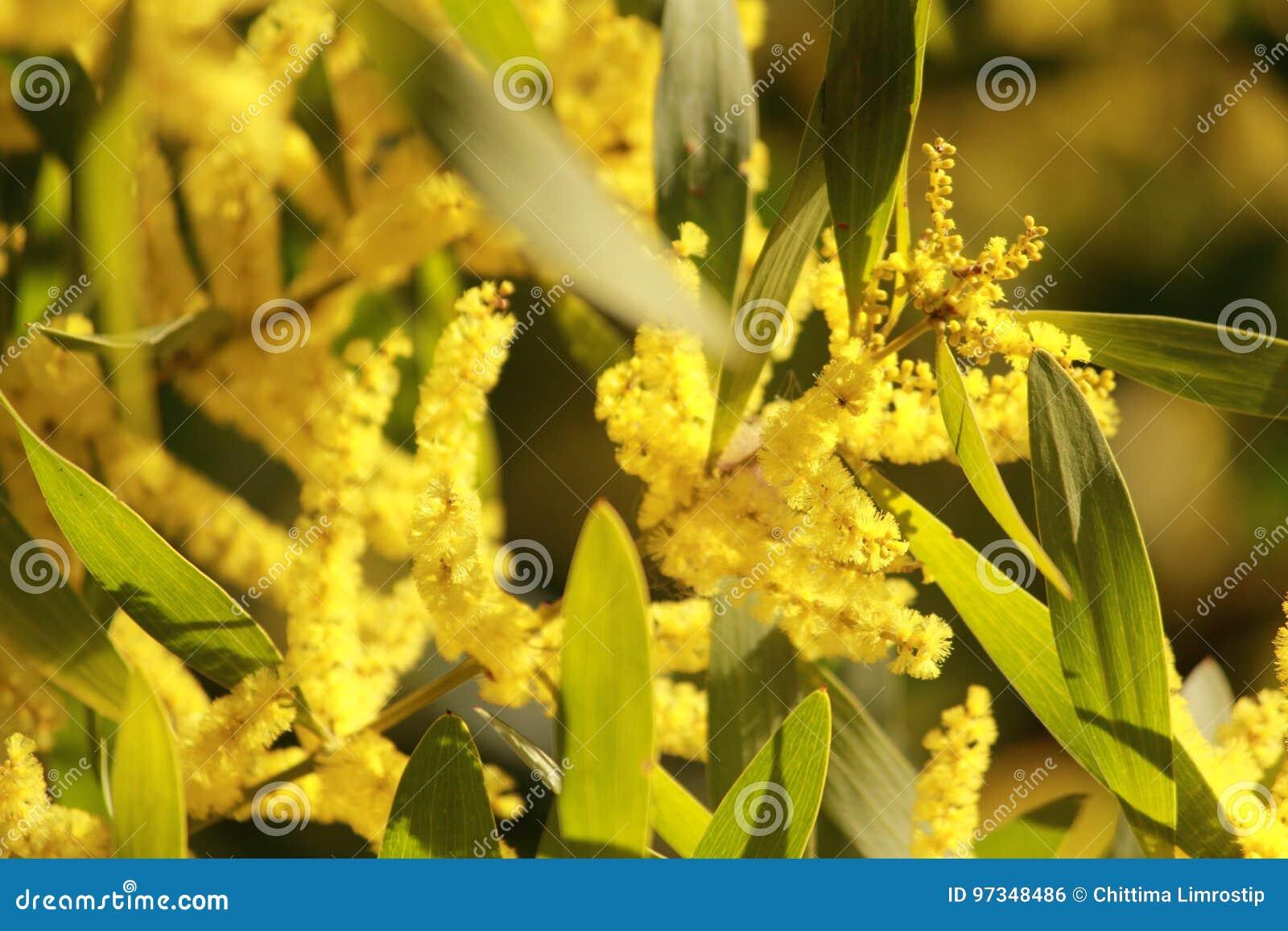 Australian yellow flowers stock photo image of jetty 97348486 australian yellow flowers mightylinksfo