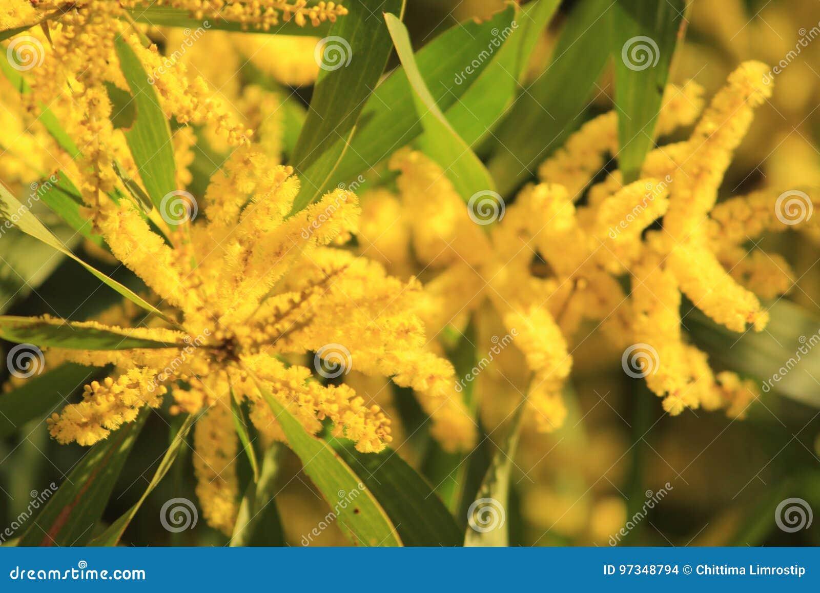 Australian yellow flowers stock photo image of flowers 97348794 download australian yellow flowers stock photo image of flowers 97348794 mightylinksfo