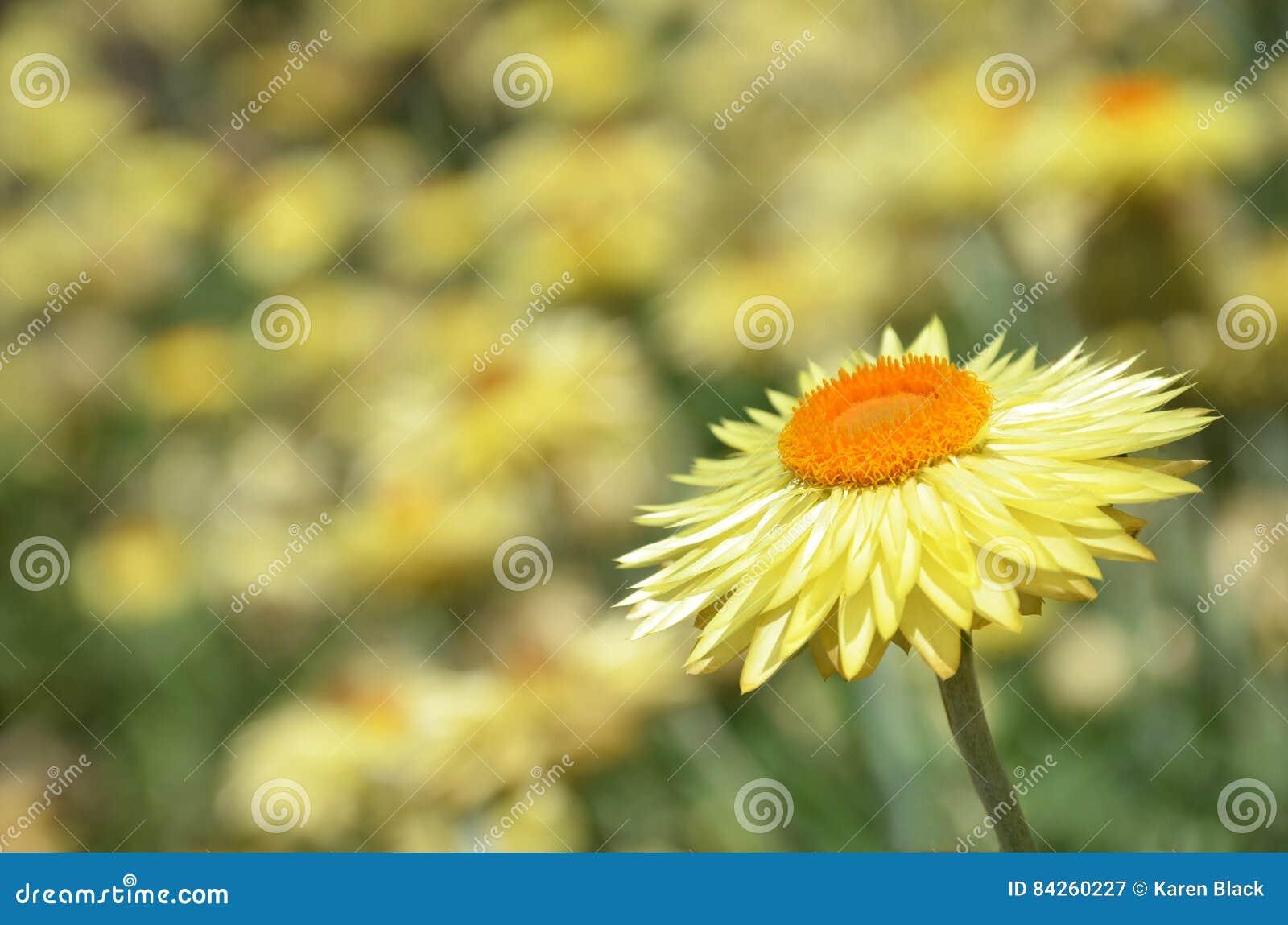 Australian Yellow Paper Daisy Flower Stock Image Image Of Schoenia