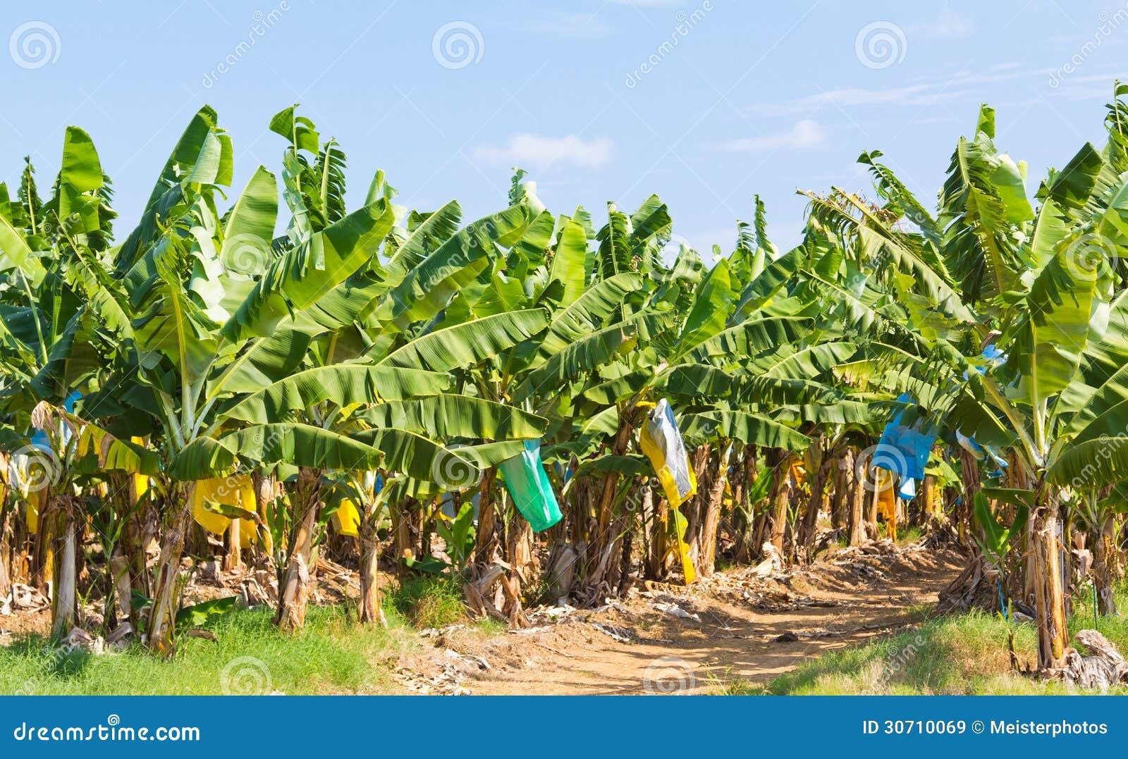 australie de plantation de banane image stock image du fruiting north 30710069. Black Bedroom Furniture Sets. Home Design Ideas
