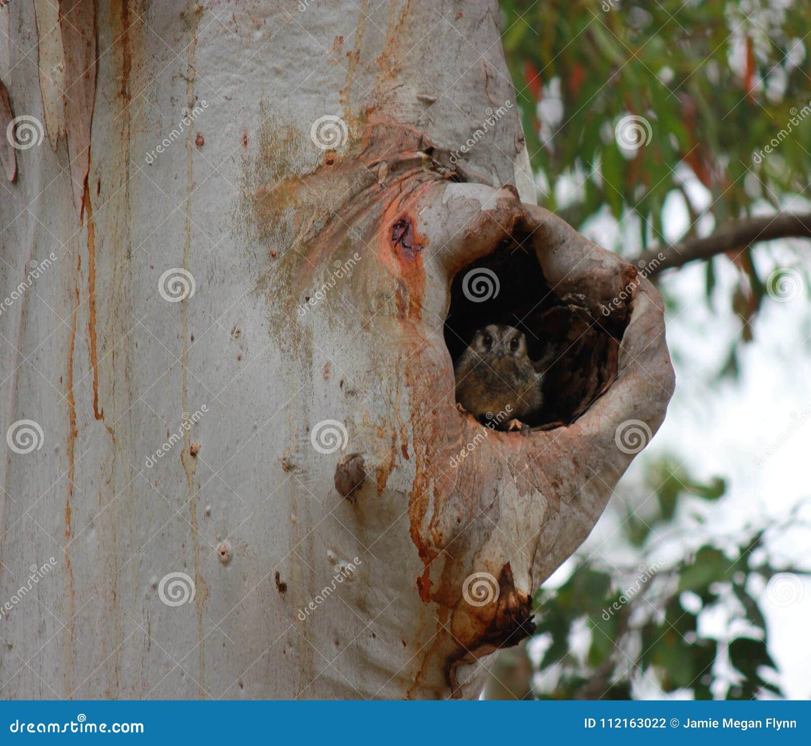 ` Australien de cristatus d Aegotheles de ` de Jeune hibou-engoulevent dans une cavité d arbre