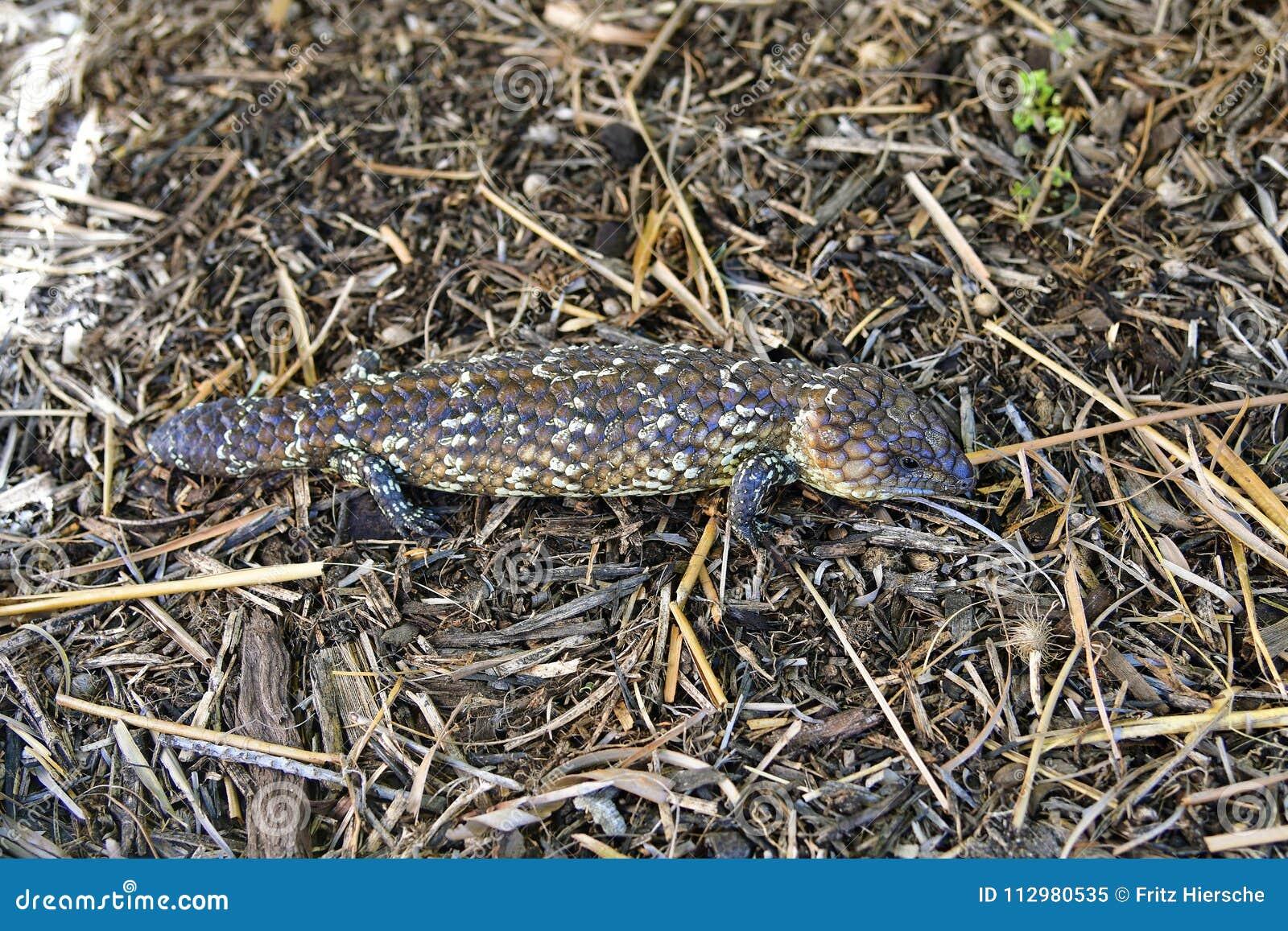 Australien, Zoologie, Reptil, Eidechse Stockbild - Bild von nave ...