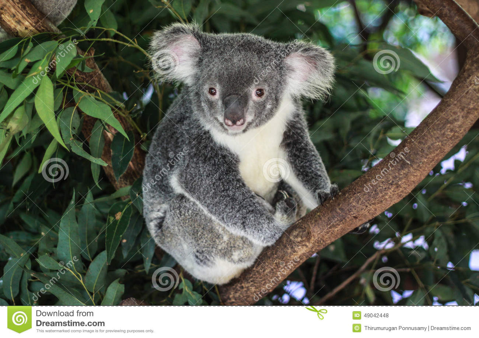 Australiensisk björnkoala