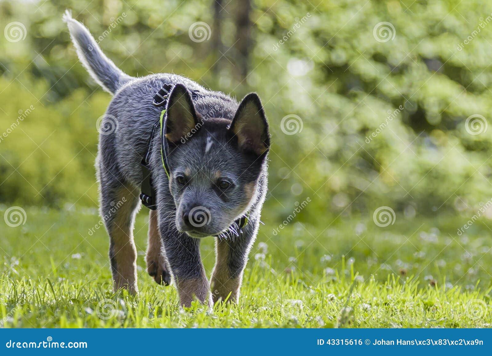 Australijska bydło psa ciucia na zielonej trawie