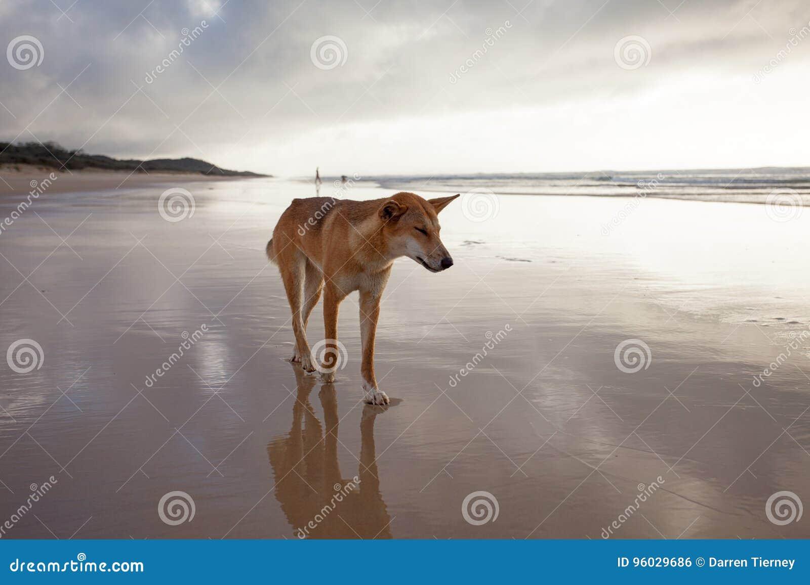 Australijski dingo