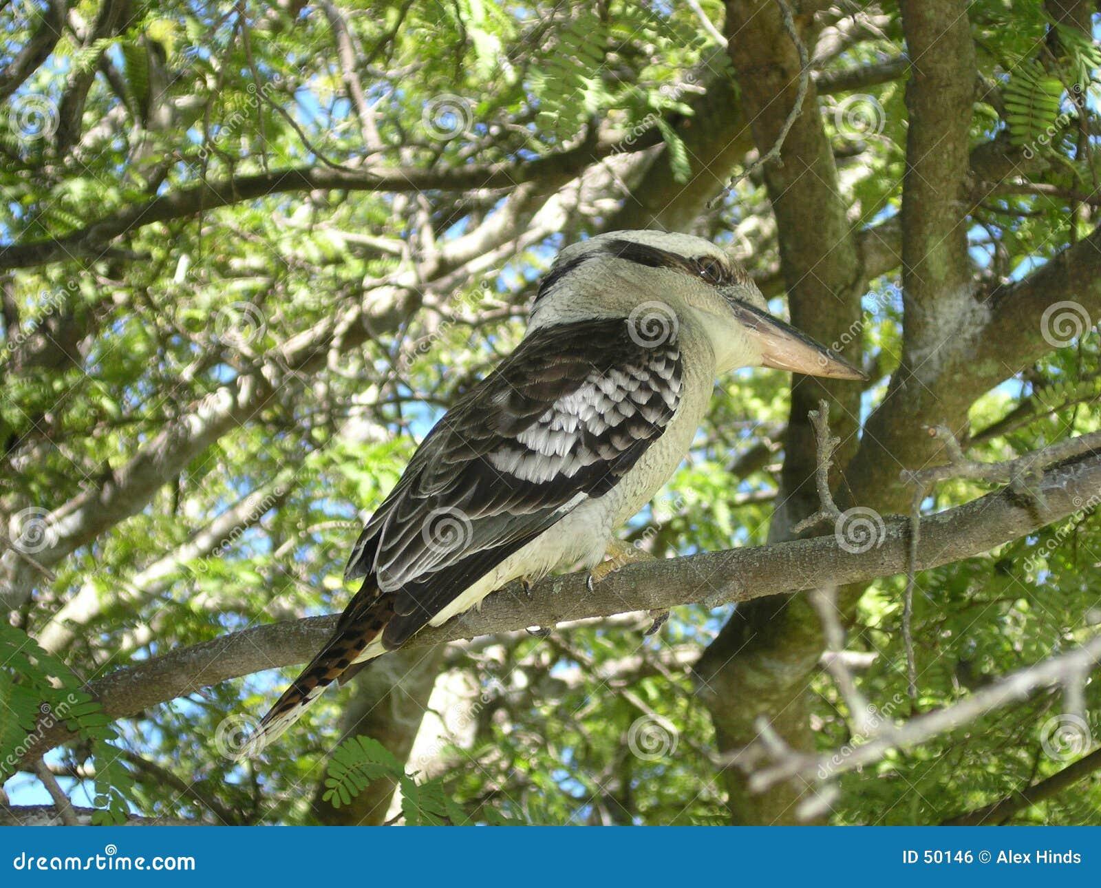 Australijski kookaburra