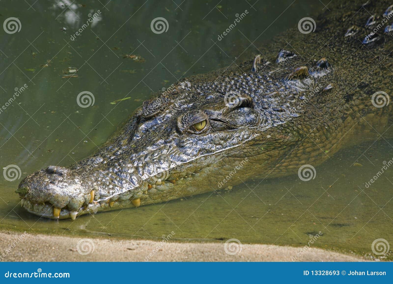 Australijski krokodyl