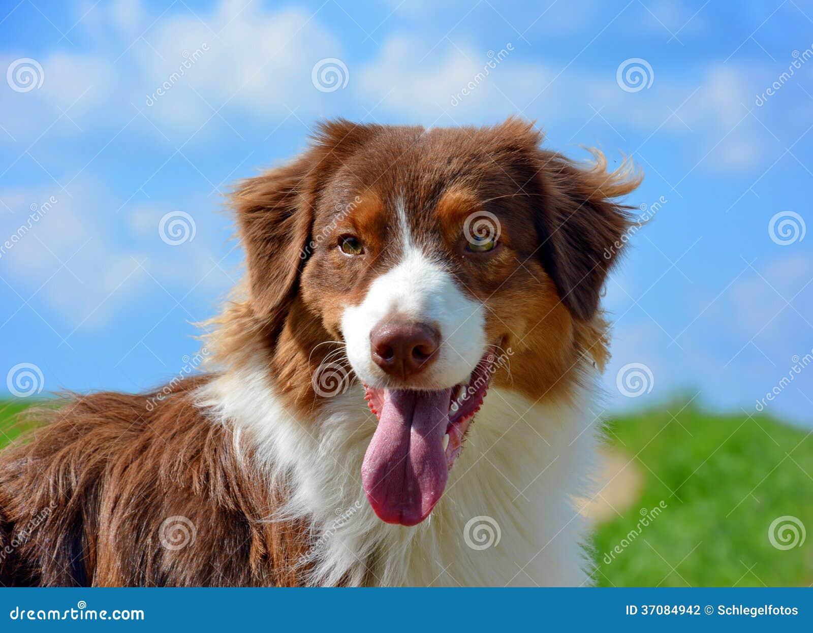 Download Australijski Sheperd Pies W Naturze Zdjęcie Stock - Obraz złożonej z brąz, studio: 37084942