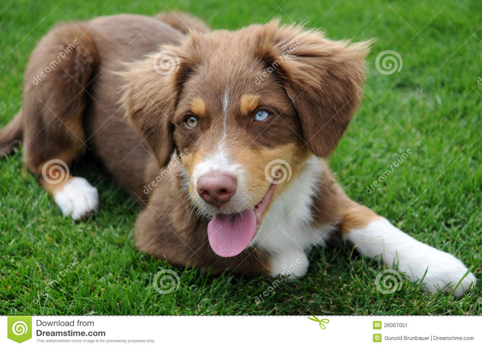 Australisch herderspuppy