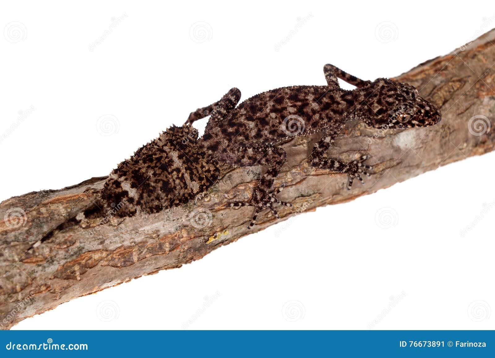 Australische blad-de steel verwijderde van gekko s op wit
