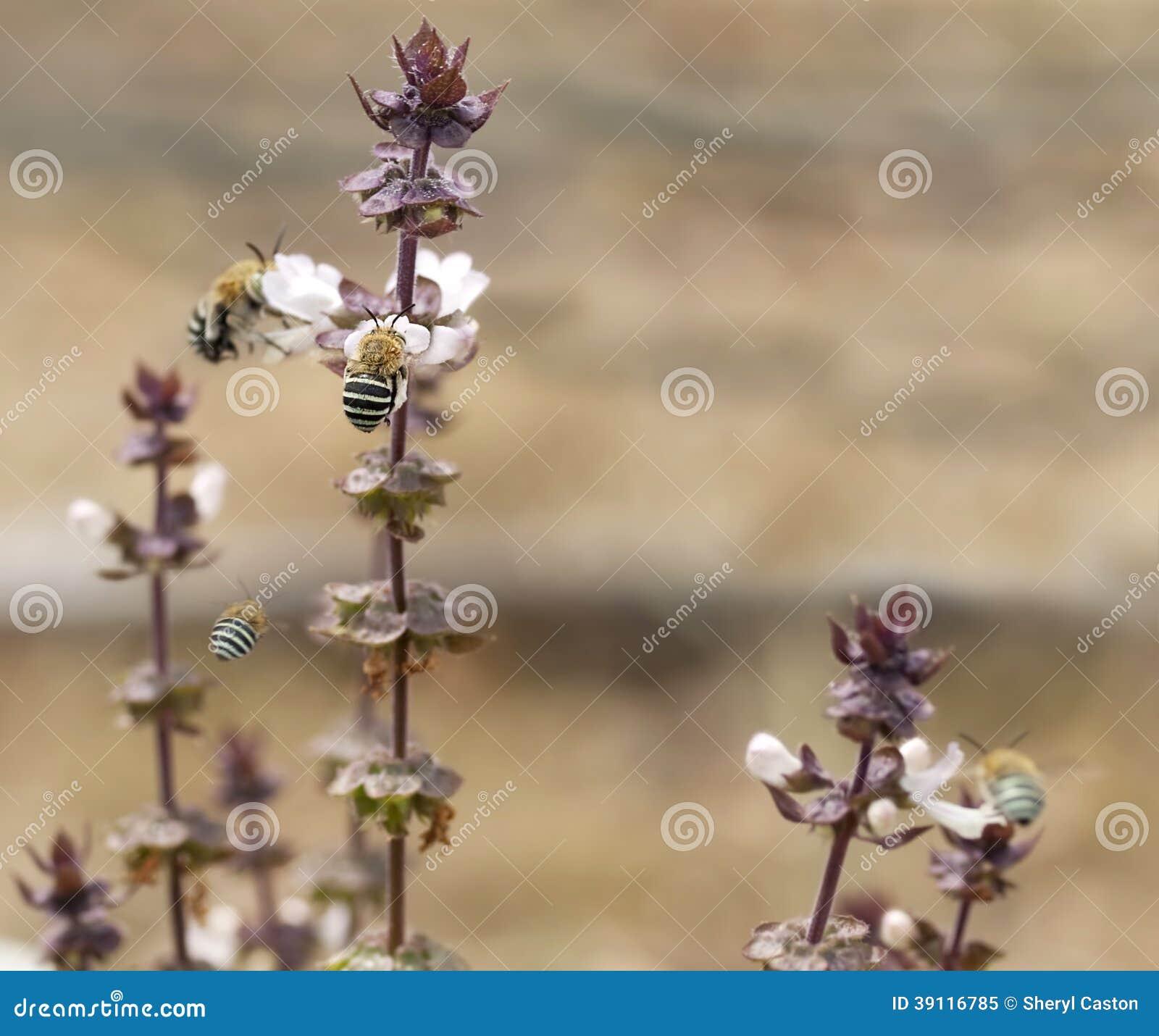 Australische Blauwe Gestreepte Bijen Amegilla en basilicum