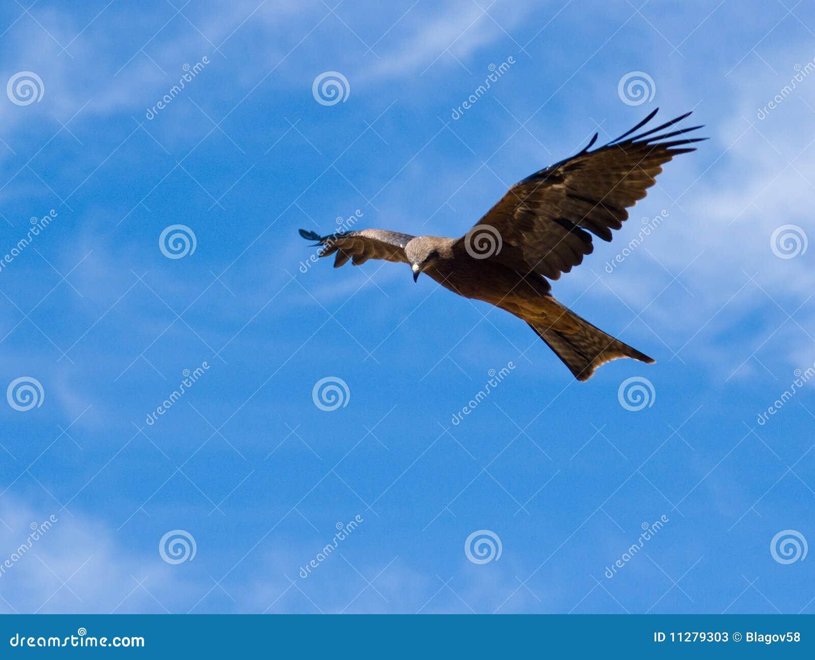 Australische Bruine Valk (Falco berigora)