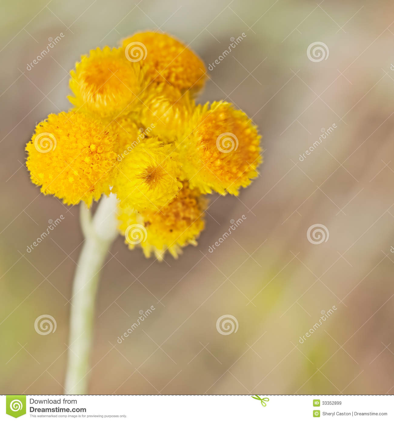 Australische Frühling Wildflowers Gelber Billy Buttons Stock ...