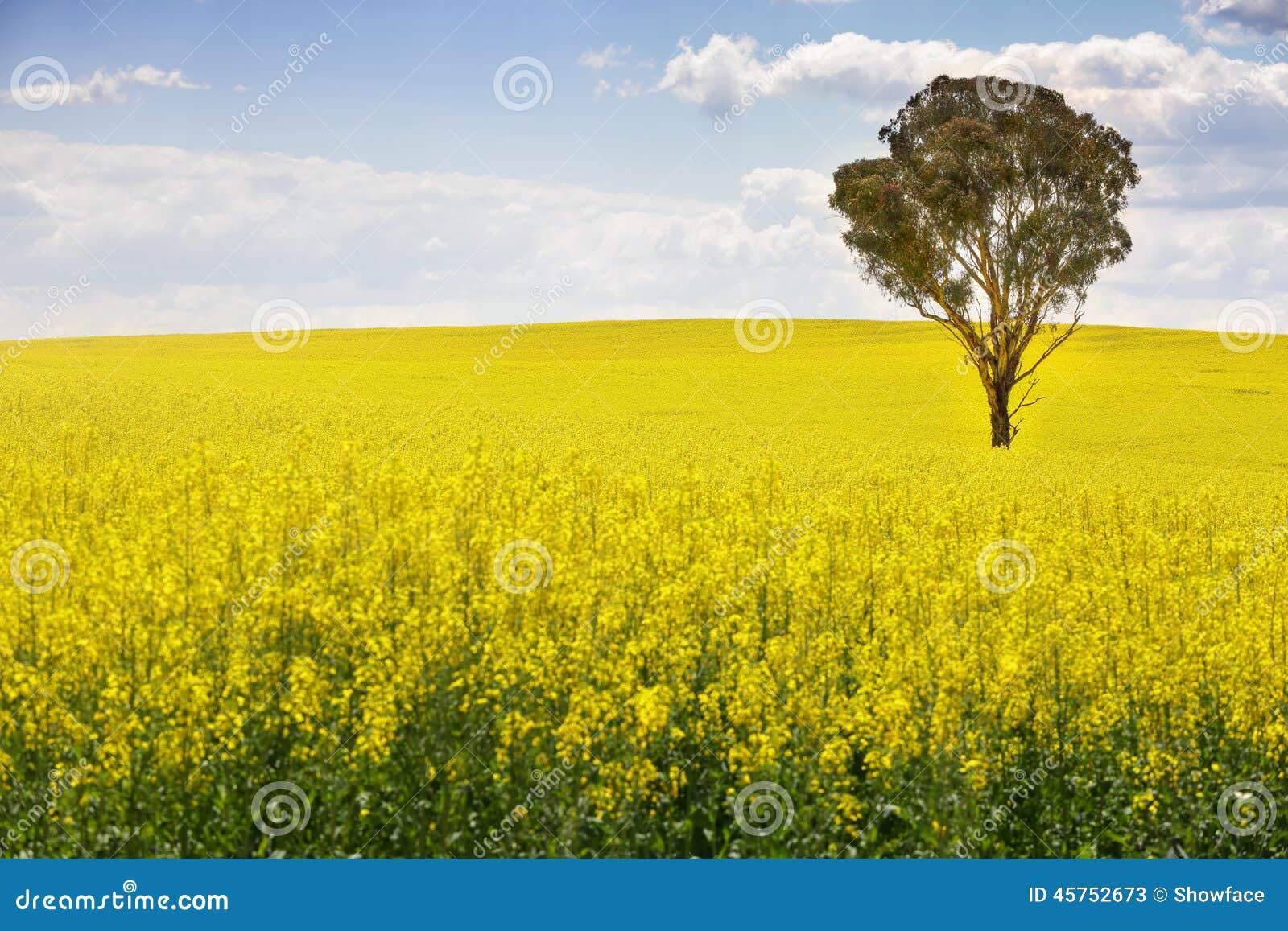 Australische gomboom op gebied van canola