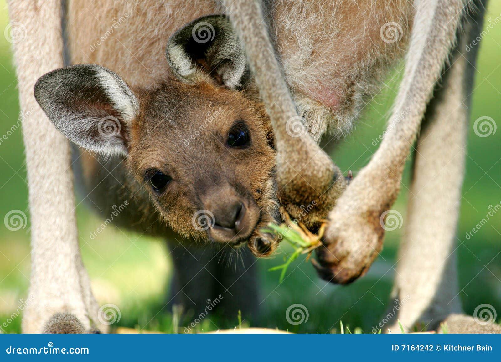 Australische Kangoeroes