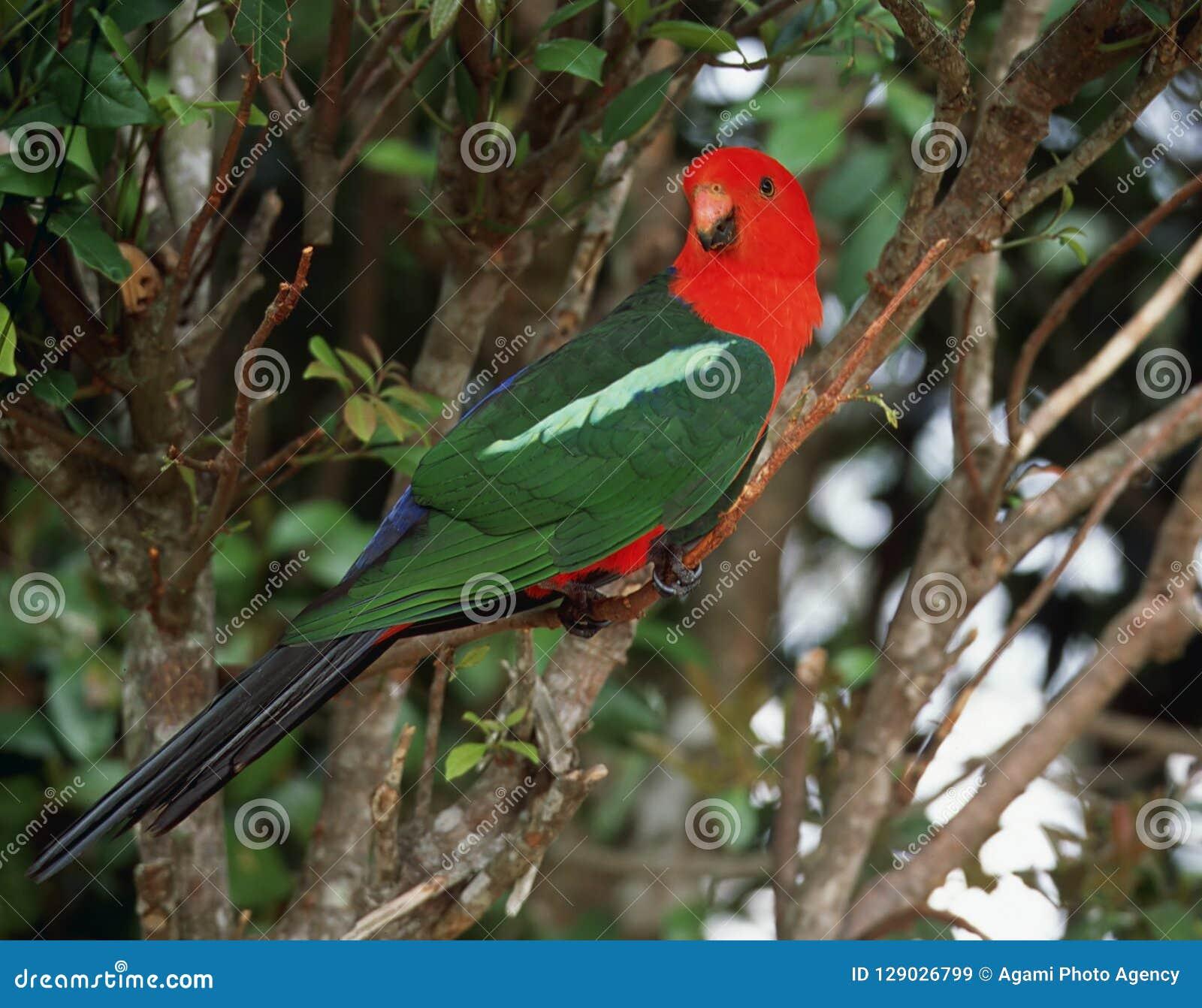 Australische Koningsparkiet, Australijska papuga, Alisterus s