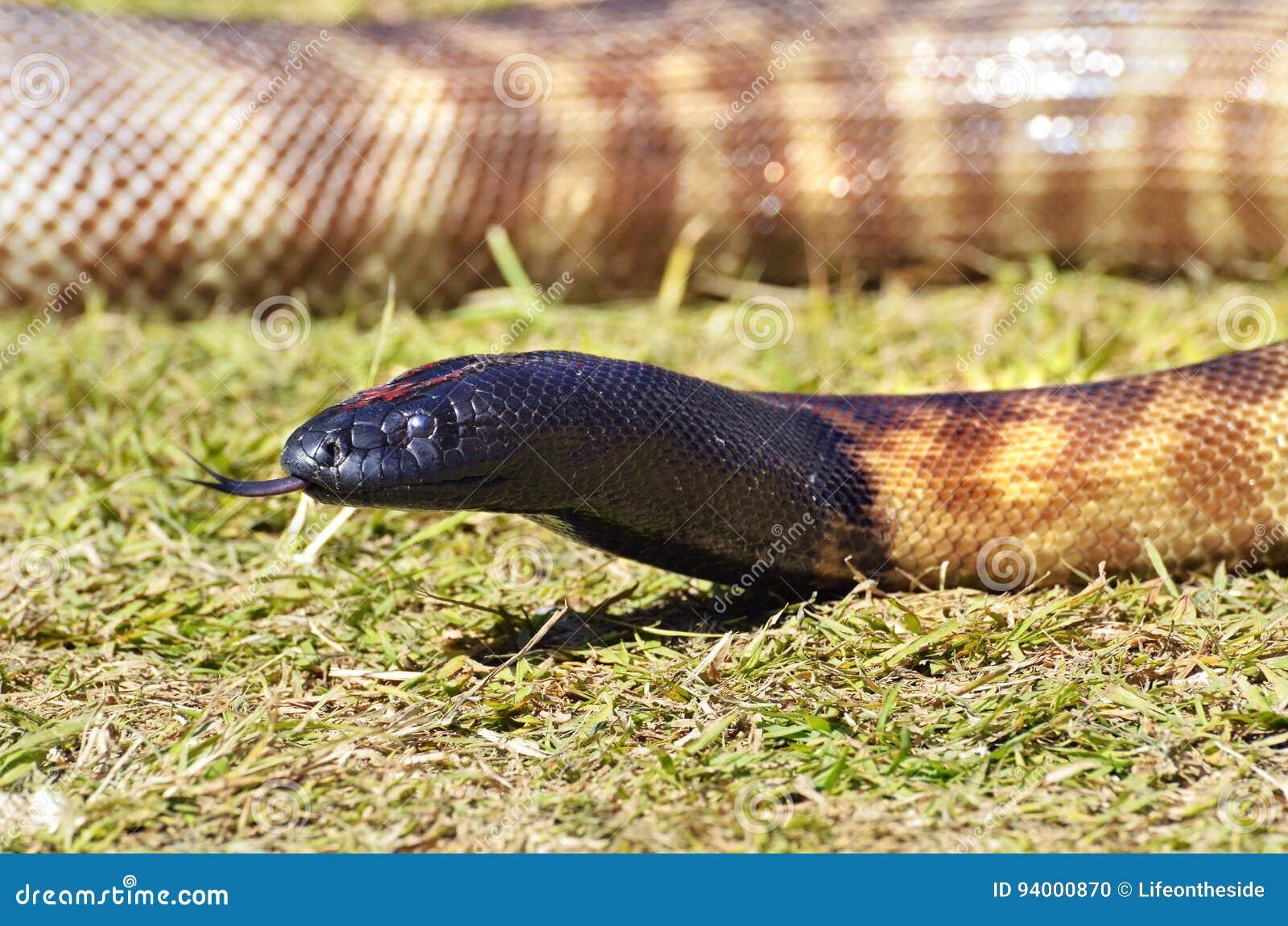 Australische Schlange des Nahaufnahme-Schwarzkopfpythons mit der Zunge heraus